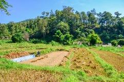 Agricoltori tailandesi che lavorano ad un giacimento del riso Immagine Stock Libera da Diritti