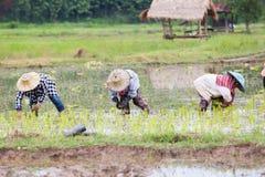 Agricoltori tailandesi che lavorano al giacimento del riso Fotografia Stock Libera da Diritti