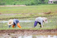 Agricoltori tailandesi che lavorano al giacimento del riso Fotografia Stock