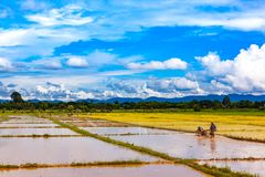 Agricoltori tailandesi che lavorano nella risaia Immagine Stock