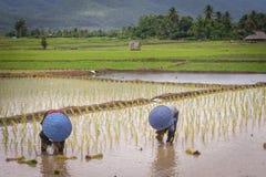 Agricoltori tailandesi che lavorano nella risaia Fotografia Stock Libera da Diritti