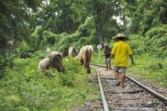 Agricoltori tailandesi con il bufalo vicino al ponte al kwai del fiume Fotografia Stock