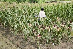 Agricoltori tailandesi del lavoratore che raccolgono cereale dalla piantagione agricola del cereale Immagine Stock Libera da Diritti