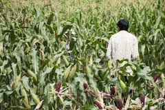 Agricoltori tailandesi del lavoratore che raccolgono cereale dalla piantagione agricola del cereale Fotografia Stock