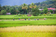 Agricoltori tailandesi non identificati Immagine Stock Libera da Diritti
