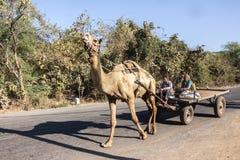 Agricoltori in un carretto del cammello Fotografia Stock Libera da Diritti