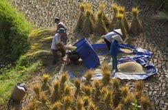 Agricoltori vietnamiti che raccolgono riso sulla risaia a terrazze Immagini Stock Libere da Diritti