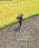 Agricoltori vietnamiti che raccolgono riso sulla risaia a terrazze Fotografia Stock
