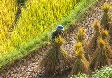 Agricoltori vietnamiti che raccolgono riso sulla risaia a terrazze Immagini Stock