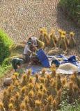 Agricoltori vietnamiti che raccolgono riso sulla risaia a terrazze Fotografia Stock Libera da Diritti