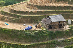 Agricoltori vietnamiti che raccolgono riso sulla risaia a terrazze Immagine Stock