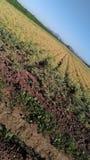 Agricoltura 2017 Fotografie Stock Libere da Diritti