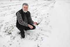 Agricoltura, agricoltore che ispeziona la pianta del grano nel campo Fotografie Stock Libere da Diritti