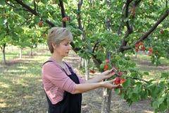 Agricoltura, agricoltore femminile nel frutteto dell'albicocca Immagine Stock