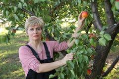 Agricoltura, agricoltore femminile nel frutteto dell'albicocca Immagini Stock Libere da Diritti
