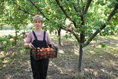 Agricoltura, agricoltore nel frutteto dell'albicocca Immagine Stock