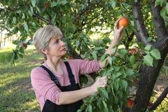 Agricoltura, agricoltore nel frutteto dell'albicocca Immagini Stock