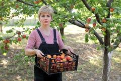 Agricoltura, agricoltore nel frutteto dell'albicocca Fotografia Stock Libera da Diritti