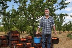 Agricoltura, agricoltore nel frutteto dell'albicocca Fotografia Stock