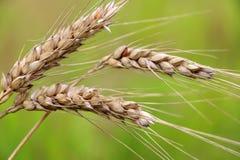 Agricoltura, agronomia e fondo di azienda agricola Immagine Stock Libera da Diritti