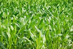 Agricoltura - albero del cereale verde sull'azienda agricola Immagine Stock