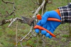 Agricoltura, albero di potatura in frutteto Fotografie Stock