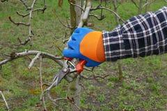 Agricoltura, albero di potatura in frutteto Fotografie Stock Libere da Diritti