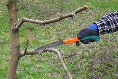 Agricoltura, albero di potatura in frutteto Fotografia Stock Libera da Diritti