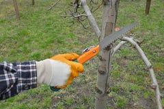 Agricoltura, albero di potatura in frutteto Immagine Stock