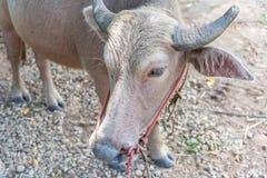 Agricoltura animale del bufalo dell'albino in campagna Immagine Stock