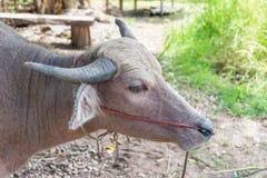 Agricoltura animale del bufalo dell'albino in campagna Fotografia Stock Libera da Diritti