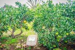 Agricoltura arancio del mandarino per il turismo Immagini Stock
