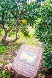 Agricoltura arancio del mandarino per il turismo Fotografia Stock