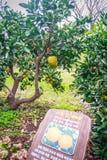 Agricoltura arancio del mandarino per il turismo Immagini Stock Libere da Diritti