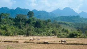 Agricoltura in Asia Foresta, montagne ed animali da allevamento selvaggi Fotografia Stock