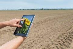 Agricoltura astuta Agricoltore che usando piantatura del girasole della compressa moder Immagini Stock