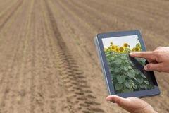 Agricoltura astuta Agricoltore che usando piantatura del girasole della compressa moder Immagini Stock Libere da Diritti