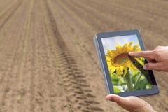 Agricoltura astuta Agricoltore che usando piantatura del girasole della compressa moder fotografia stock libera da diritti