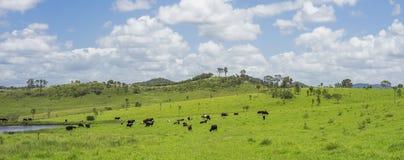 Agricoltura australiana dei bovini da carne di agricoltura Immagini Stock Libere da Diritti
