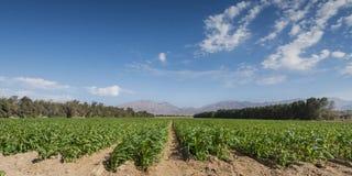 Agricoltura avanzata nell'area del deserto di Medio Oriente Fotografia Stock Libera da Diritti