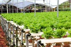 Agricoltura - azienda agricola di verdure idroponica Fotografie Stock Libere da Diritti