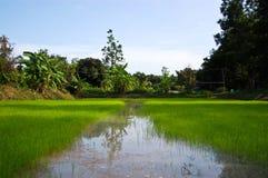 Agricoltura, azienda agricola, riso, coltivatori tailandesi Fotografia Stock