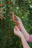 Agricoltura, bacca di goji fotografie stock libere da diritti
