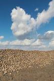 Agricoltura, barbabietola da zucchero, radice che raccoglie nel campo Fotografia Stock Libera da Diritti