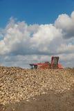 Agricoltura, barbabietola da zucchero, radice che raccoglie nel campo Immagini Stock Libere da Diritti