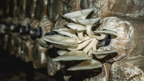 Agricoltura bianca del fungo di ostrica Immagine Stock