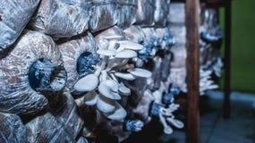 Agricoltura bianca del fungo di ostrica Immagine Stock Libera da Diritti