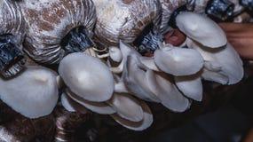 Agricoltura bianca del fungo di ostrica Fotografia Stock Libera da Diritti