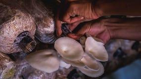 Agricoltura bianca del fungo di ostrica Fotografia Stock
