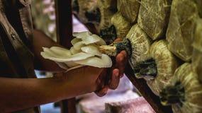 Agricoltura bianca del fungo di ostrica Fotografie Stock